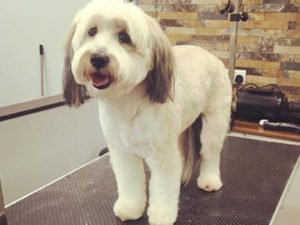 Dog Grooming Client at Short Bark and Sides Surrey 13