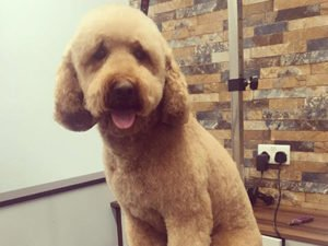 Dog Grooming Client at Short Bark and Sides Surrey 17