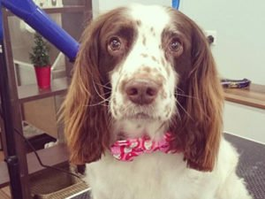 Dog Grooming Client at Short Bark and Sides Surrey 2