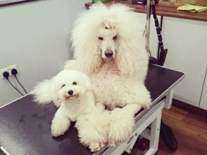 Dog Grooming Client at Short Bark and Sides Surrey 26